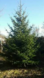 Christmas tree! Real! 18ft tall approx
