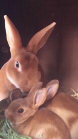 Baby Orange Mini Rex Rabbits