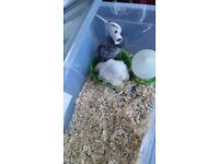 2 lovely chicks for sale