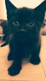 4 beautiful pure black kittens for sale ready for there forever homes