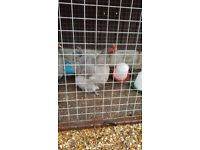 2 orpington and 1 polish chickens feeder and water troff