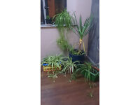 Large Yukka and Other Plants