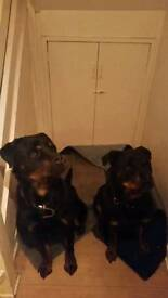 Two Rottweilers needing rehomed