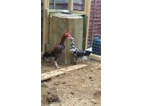 Aseel stags hens an chicks for sale