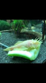 Male and female albino bristlenose plecs and cave