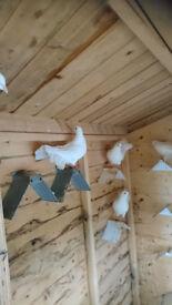 pigeons white fantails