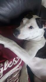 American bulldog come with month of food bed etc she is a purebred but we didn't get papers