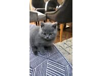British shorthair cat/kitten grey