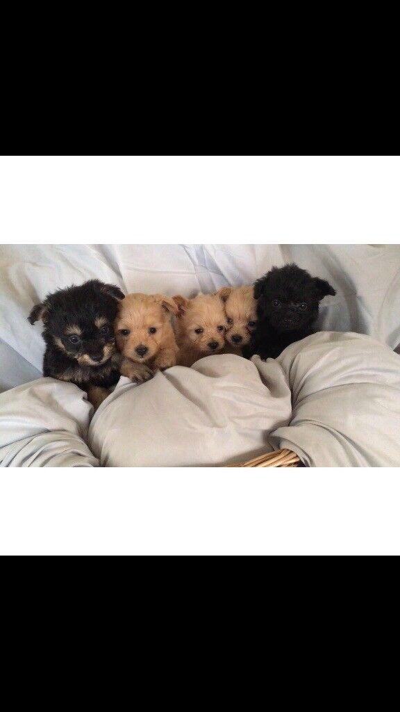 Beautiful pompoo puppy's