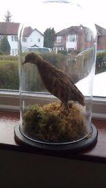 Taxidermy Rare Victorian corn crake bird under glass dome.