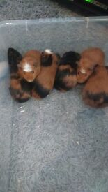 Beautiful guinea pigs for sale 9 weeks old.