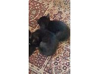 Two adorable black semi long haired kittens