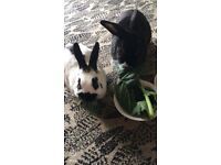 Two Rabbits & Hutch - free to loving home