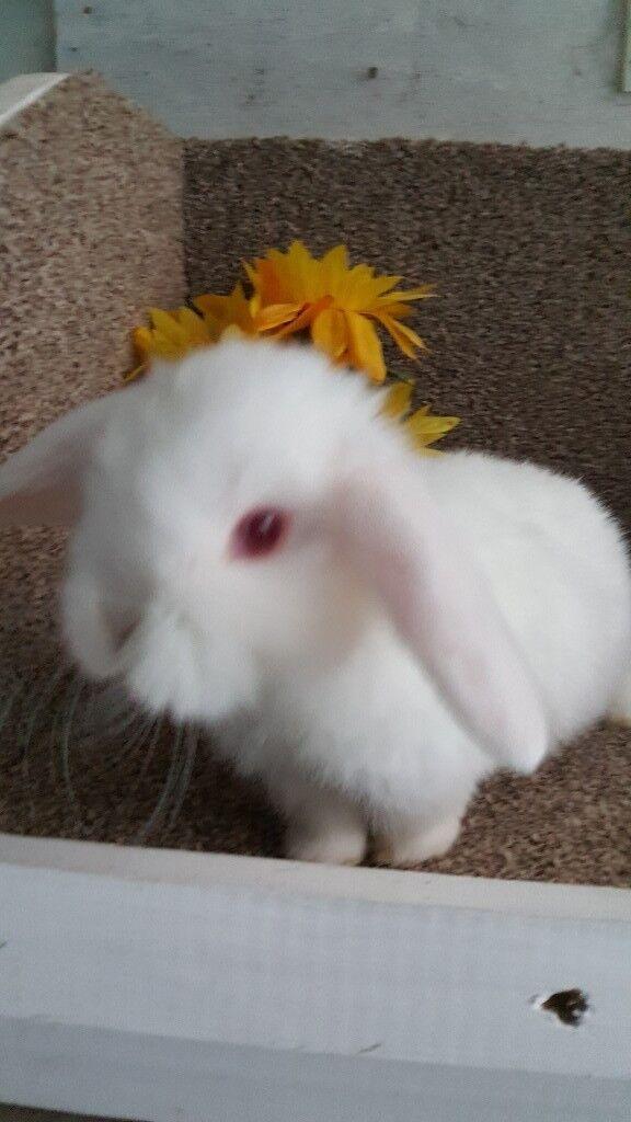 Pink eyed white Mini lop boy