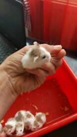 Baby Robowoski hamster
