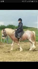 12/2 Blagdon pony cob
