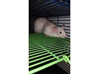 3 male rats (Cage for an extra price)