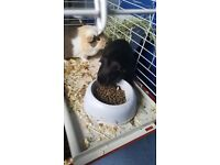 Guinea Pigs for Sale to a Kind Home