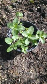 Chocolate Mint in a 1L pot