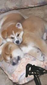 Pedigree Japanese Akita puppies