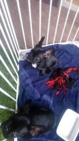 Black and Trindle French bulldog