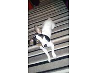 Jack russel. Very friendly. 2 year old. Move forces sale.