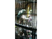 2 Ringneck Parrots for sale with cage