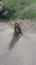 Family dog/ female staffie 1yr old brown and black..