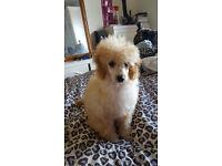 Milklish Boys And Gurls Standard Poodle Puppies 4 Sale