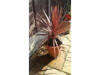 Red Cordyline for sale