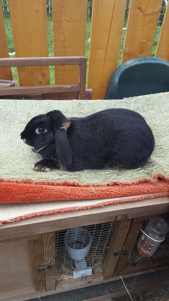 Female adult rabbit and hutch