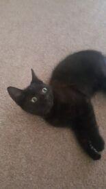 **Black male Kitten for sale**