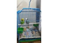 Pair of budgies with new cage