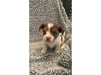 Biro Yorkshire Terrier Puppies