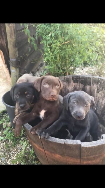 3 Beautiful Labrador Staffy Cross Puppies For Sale Vet Checked And Microchipped Ready For New Home In Hockley Essex Gumtree