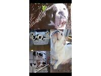 British Bull Dog Puppies For Sale