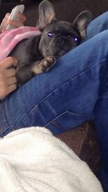 For sale blue and tan frenchie