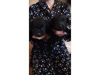 Patterdale terrier puppys