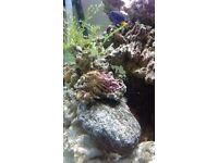 Marine#Stick Anemone#Tree Anemone# Stick Polyp#Tree Polyp