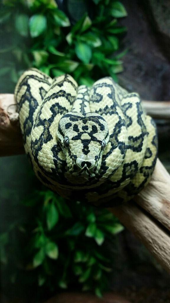 Zebra jaguar carpet python