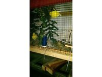 budgerigar and canaries