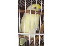 Lost pale yellow budgie walton liverpool 26/5/18