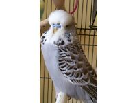 Exhibition type male budgie for sale