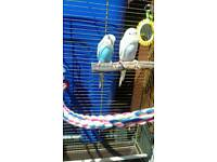 Two young budgies with cage & stand