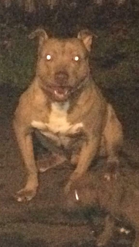 American Bully XL Puppies ( red x blue ) chocolate brindle rare puppy male  female pup | in Enfield, London | Gumtree