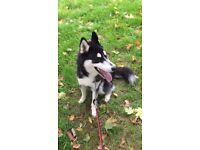 Siberian Husky 9 months joyful company