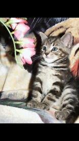 Bengal cross kittens now ready
