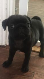 KC Reg PUG puppy girl left