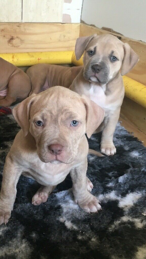 Xl Bully Puppies for sale | in Hatfield, South Yorkshire