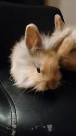 baby boy lionhead rabbit ready to leave for his forever home now, lovely colouring handled daily